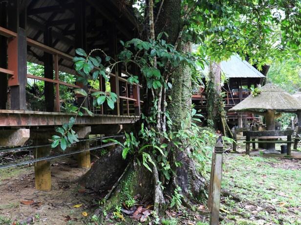 Ficus obscura 3P7A0681.JPG