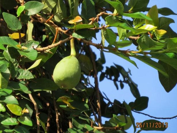 Ficus pumila IMG_0105 - Copy.JPG