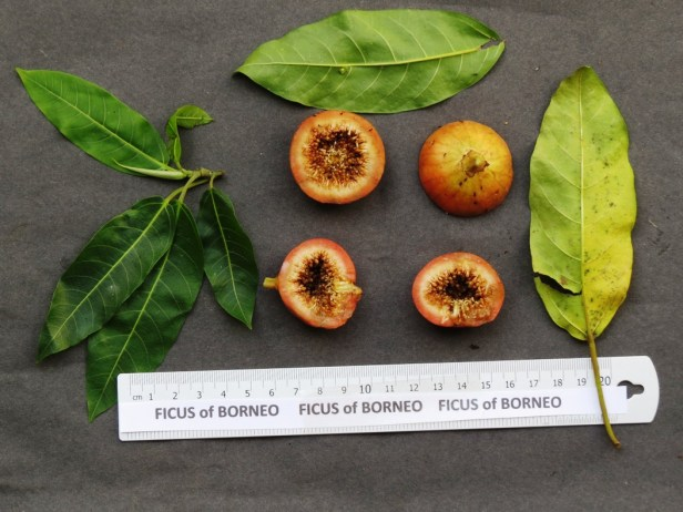 ficus-racemosa-img_1857