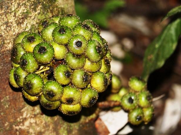 ficus-rosulata-3p7a5035