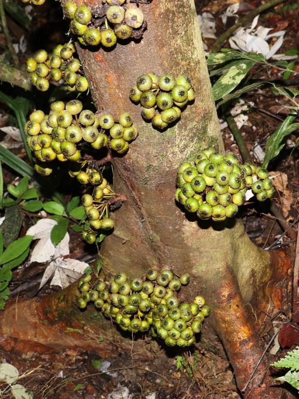 ficus-rosulata-3p7a5045