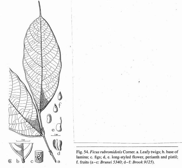 Ficus rubromidotis Introduction.jpg