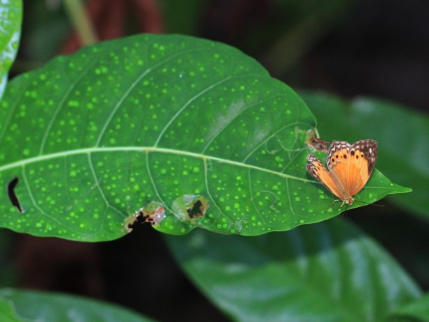 Ficus septica IMG_2719.JPG