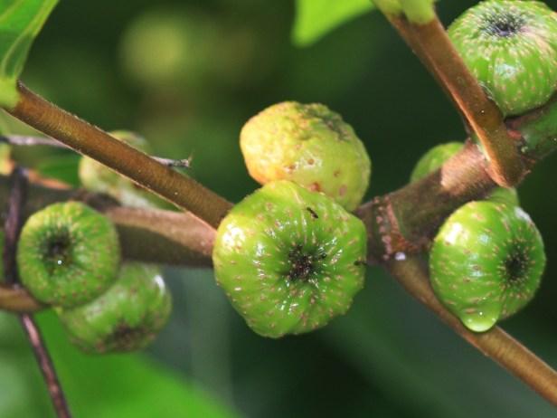 Ficus septica IMG_6484.JPG