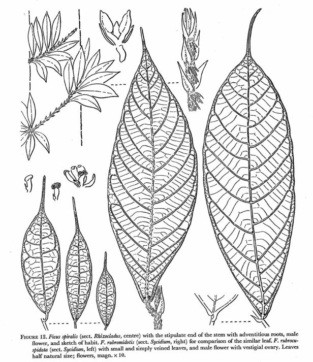 Ficus spiralis Corner drawing.jpg