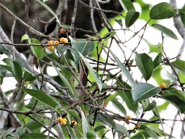 Ficus sundaica IMG_2749 -.JPG