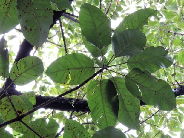 Ficus superba IMG_0953.JPG