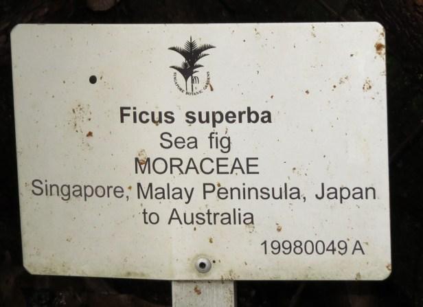 Ficus superba IMG_0955.JPG