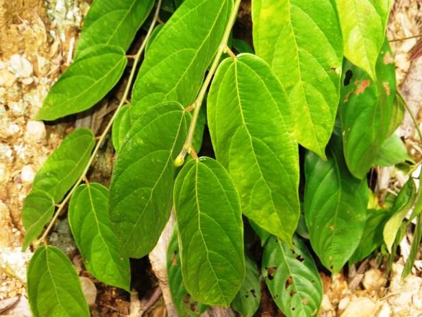 Ficus urnigera IMG_0930 - Copy.JPG