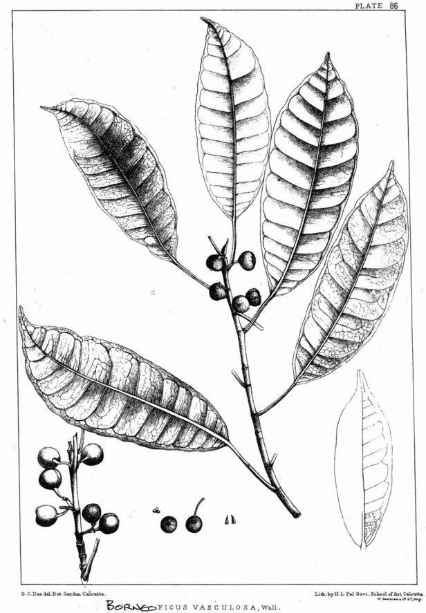 Ficus vasculosa King (1887) ENHANCED.jpg