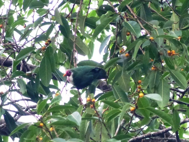jambu-dove-p1000698-copy