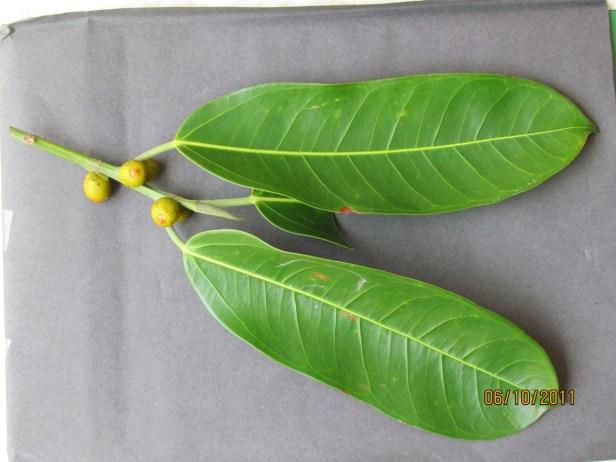 x Ficus sundaica IMG_1986.JPG