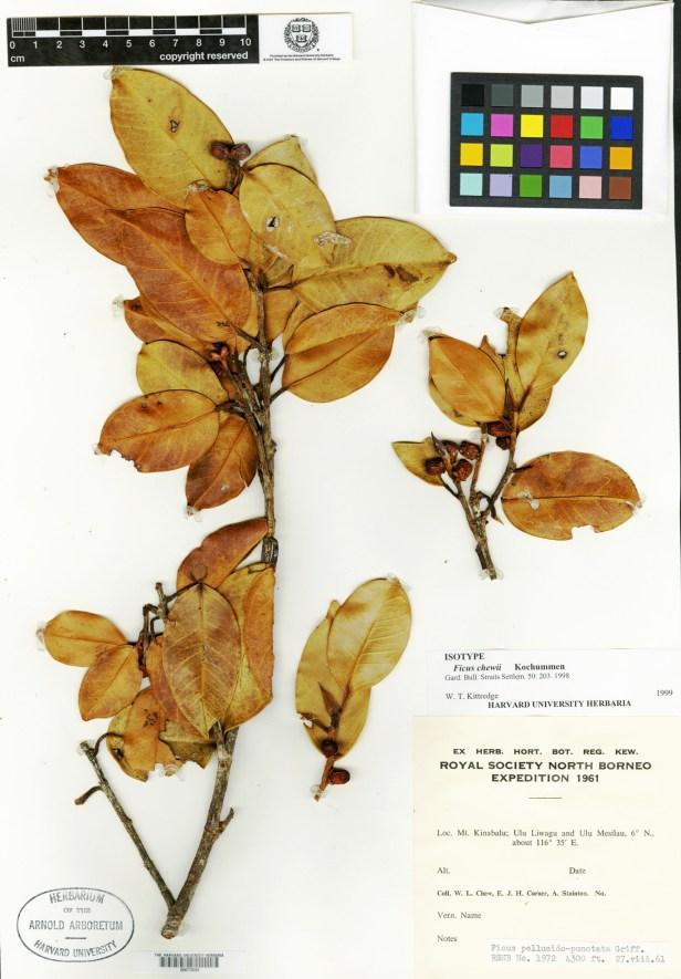 Copy of Ficus chewii at Harvard.jpg