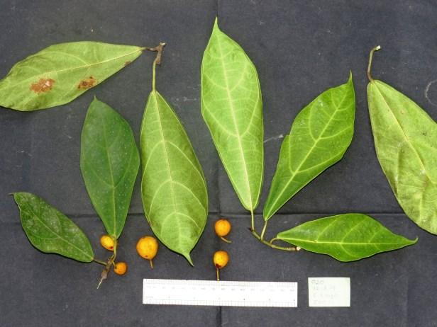 Ficus androchaete IMG_1185 - Copy.JPG