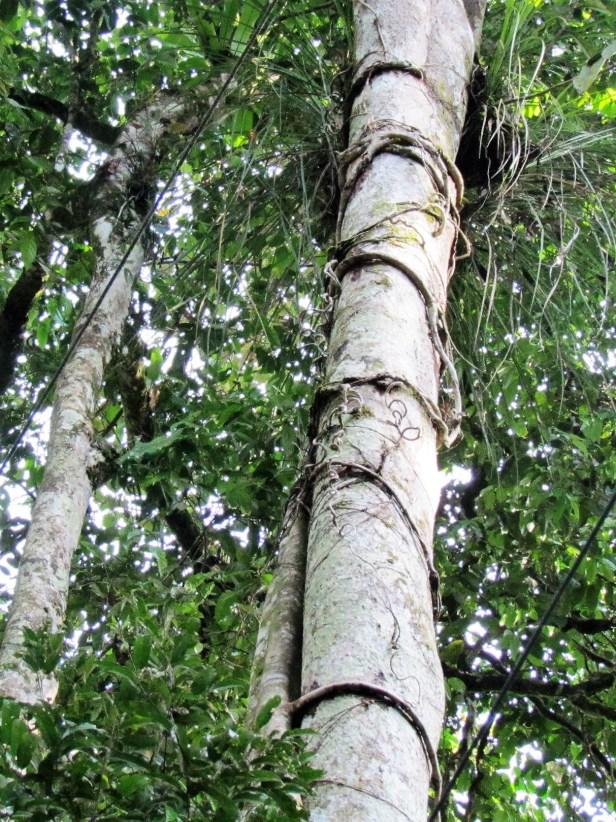 Ficus binnendijkii IMG_2424.JPG