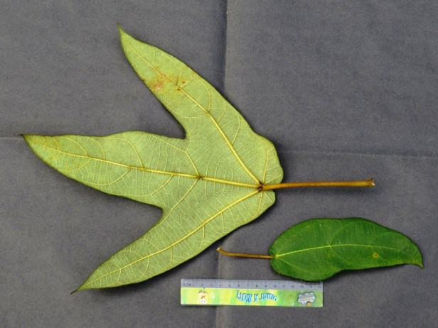 Ficus brunneoaurata IMG_0009.JPG