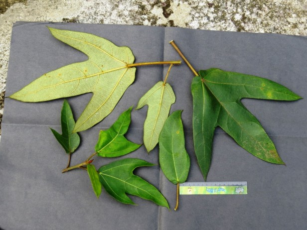 Ficus brunneoaurata Kipandi IMG_0002.JPG