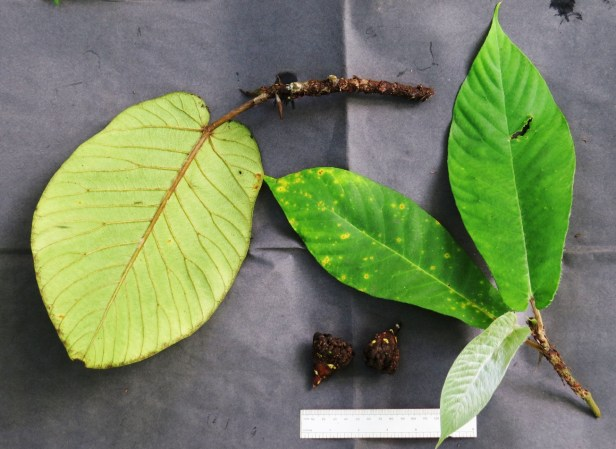 Ficus cereicarpa IMG_0238 - Copy.JPG