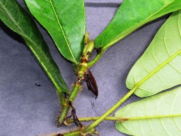Ficus cereicarpa IMG_0275.JPG