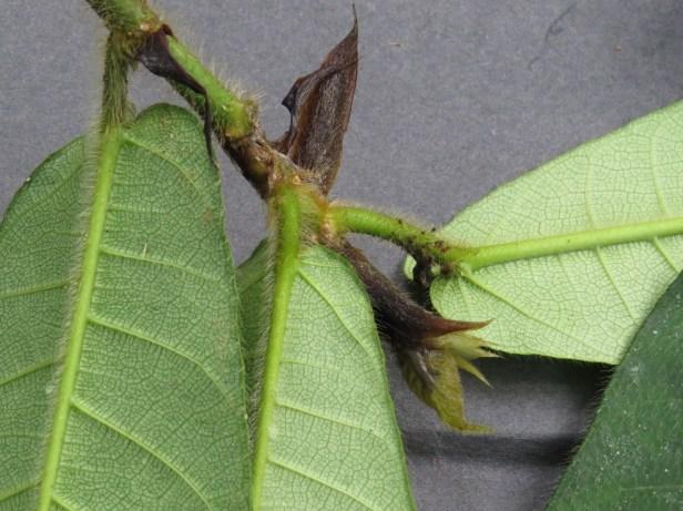 Ficus cereicarpa IMG_0282.JPG