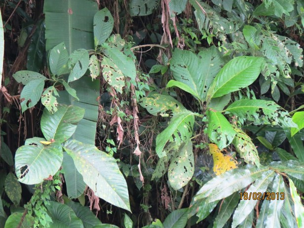 Ficus cereicarpa IMG_3445 JQPF020 - Copy.JPG