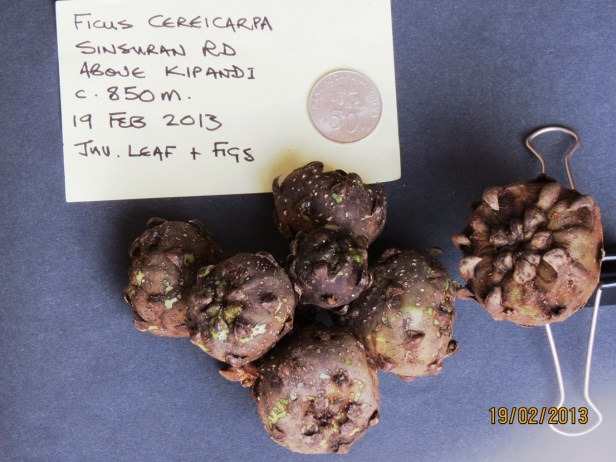 Ficus cereicarpa IMG_3482 - Copy.JPG