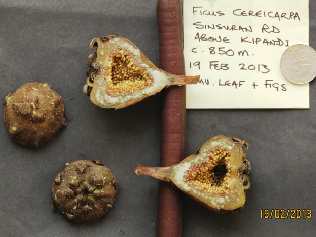 Ficus cereicarpa IMG_3487 - Copy.JPG