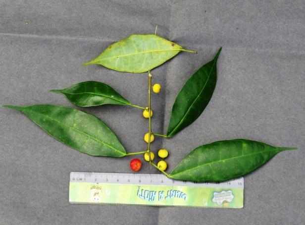 Ficus chartaceae IMG_0032 - Copy.JPG
