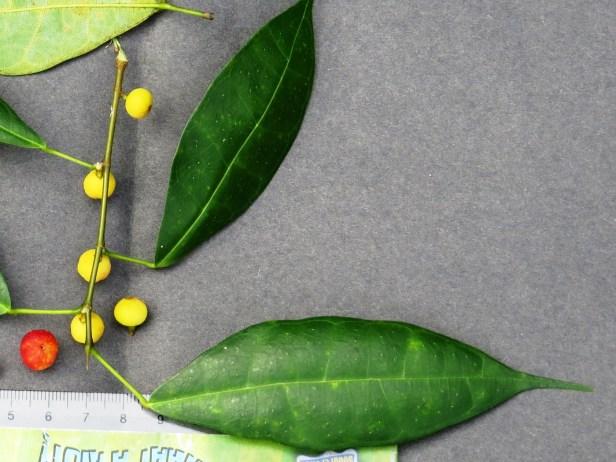 Ficus chartaceae IMG_0036.JPG