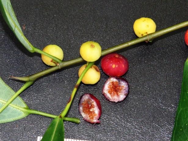 Ficus chartaceae IMG_0327 - Copy.JPG