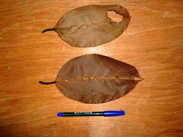 Ficus consociata  5 - Copy.JPG