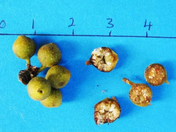 Ficus disticha P3050-C - Copy.jpg