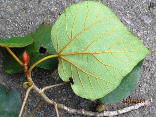 Ficus endospermifolia IMG_1062.JPG