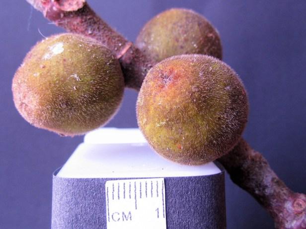 Ficus endospermifolia IMG_1182 - Copy.JPG