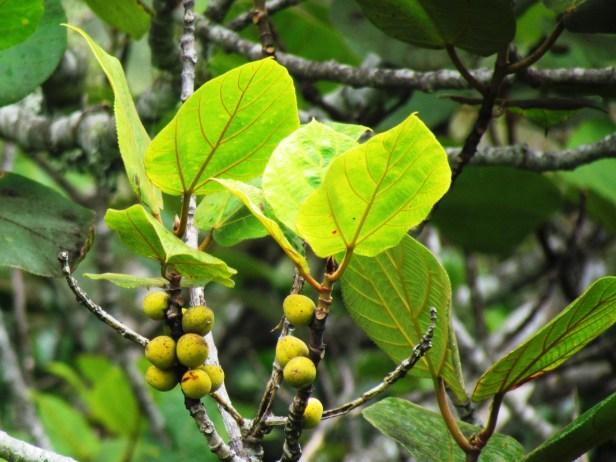 Ficus endospermifolia IMG_2149 - Copy.JPG