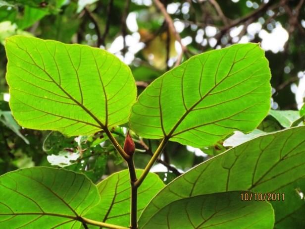 Ficus endospermifolia IMG_2371 - Copy.JPG