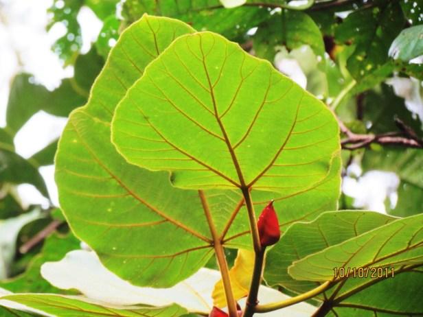 Ficus endospermifolia IMG_2389 - Copy.JPG