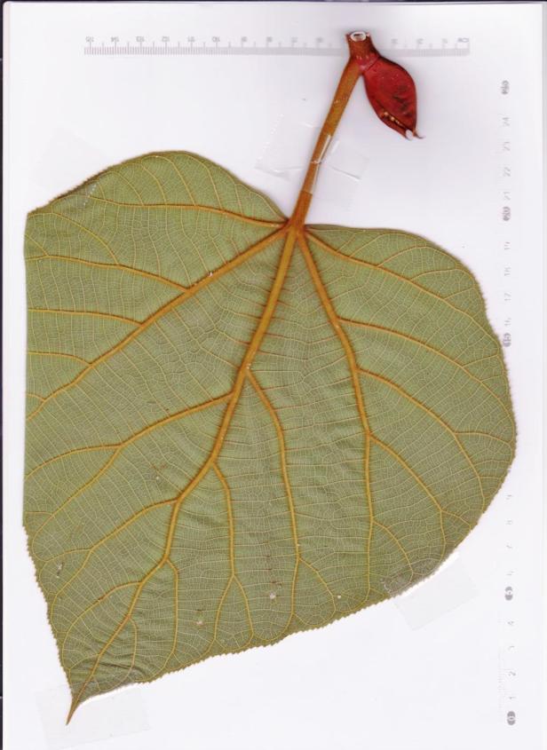 Ficus endospermifolia Sinsuron Rd 110929 002 -.jpg