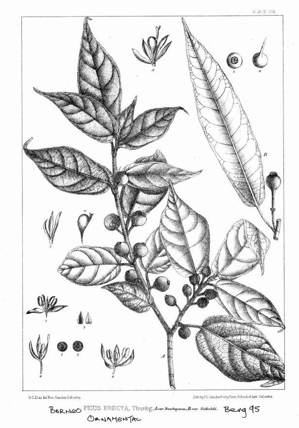 Ficus erecta King (1887) ENHANCED
