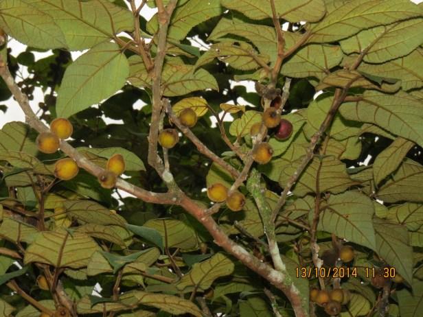 Ficus eumorpha IMG_0323 - Copy.JPG
