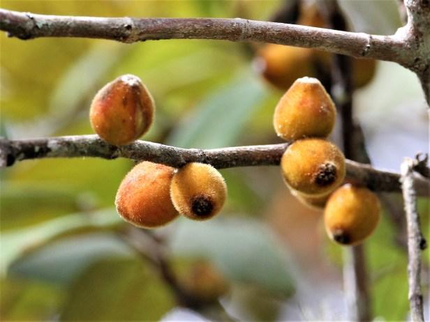Ficus eumorpha IMG_2164 - Copy.JPG