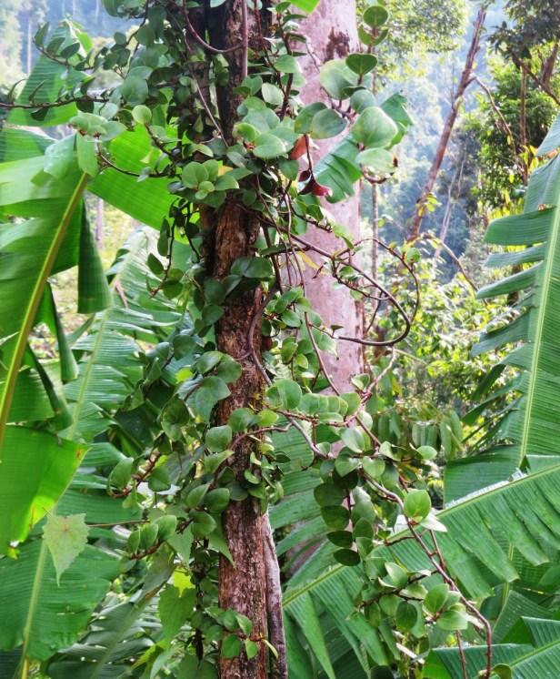 Ficus excavata IMG_1305 - Copy.JPG