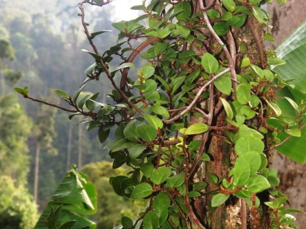 Ficus excavata IMG_1307 - Copy.JPG