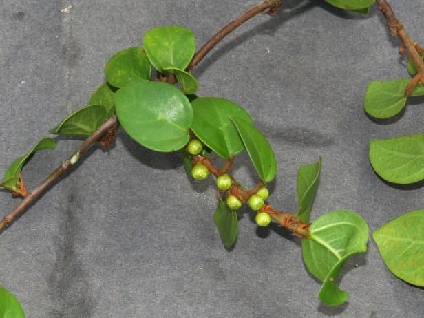 Ficus excavata IMG_1314 - Copy.JPG