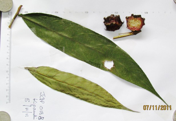 Ficus geocharis IMG_9273 - Copy.JPG