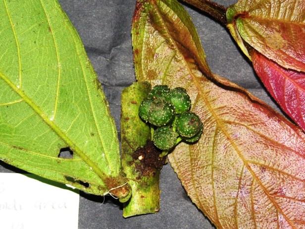 Ficus hemsleyana IMG_0369.JPG