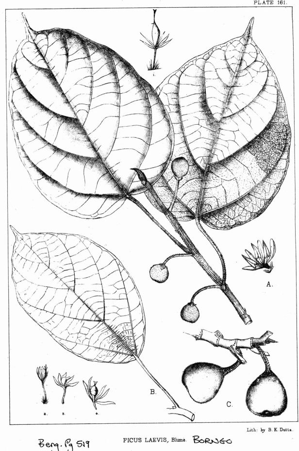 Ficus laevis King (1887) enhanced.jpg