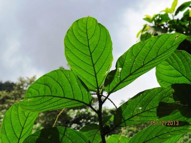 Ficus lepicarpa IMG_3626.JPG