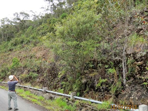 Ficus macilenta IMG_3320 JQPF009.JPG