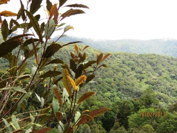 Ficus macilenta IMG_3328 JQPF009.JPG